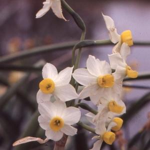 Photographie n°63168 du taxon Narcissus tazetta L. [1753]