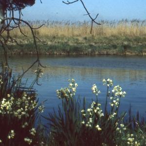Photographie n°63169 du taxon Narcissus tazetta L. [1753]