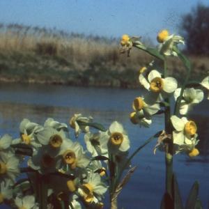 Photographie n°63170 du taxon Narcissus tazetta L. [1753]