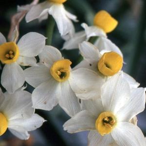 Photographie n°63171 du taxon Narcissus tazetta L. [1753]