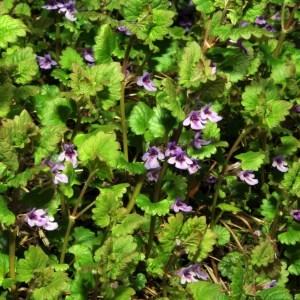 Photographie n°63203 du taxon Glechoma hederacea L. [1753]