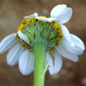 Anthemis arvensis subsp. incrassata (Loisel.) Nyman (Anthémis à pédoncules renflés)