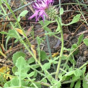 - Centaurea sphaerocephala L. [1753]