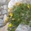 Jean-Luc Gorremans - Lotus alpinus (DC.) Schleich. ex Ramond