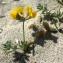 Liliane Roubaudi - Lotus cytisoides subsp. conradiae Gamisans
