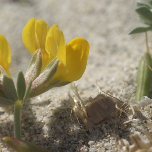 Lotus creticus L. (Lotier de Crète)
