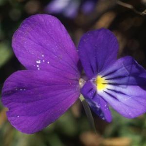 Viola bubanii Timb.-Lagr. (Pensée de Bubani)