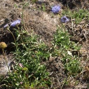 Photographie n°63400 du taxon Jasione crispa (Pourr.) Samp. [1921]