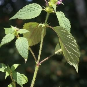 Photographie n°63407 du taxon Galeopsis tetrahit L.