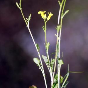 Photographie n°63408 du taxon Barbarea verna (Mill.) Asch.