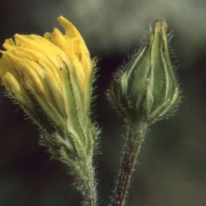 Photographie n°63453 du taxon Crepis sancta (L.) Bornm. [1913]