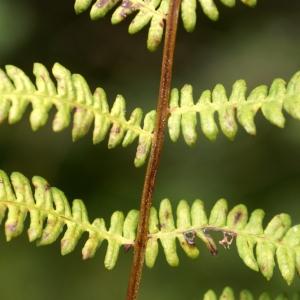 Thelypteris palustris Schott (Fougère des marais)