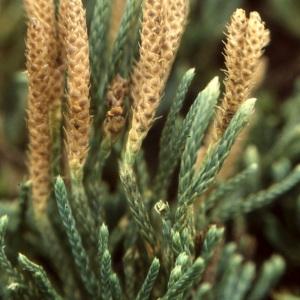 Photographie n°63607 du taxon Diphasiastrum alpinum (L.) Holub [1975]