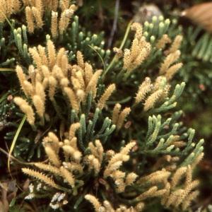 Photographie n°63608 du taxon Diphasiastrum alpinum (L.) Holub [1975]