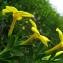 Catherine MAHYEUX - Jasminum fruticans L.