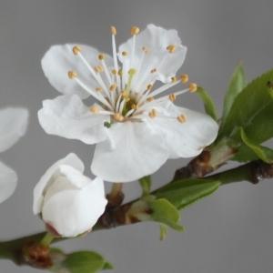 Prunus domestica L. (Prunier)