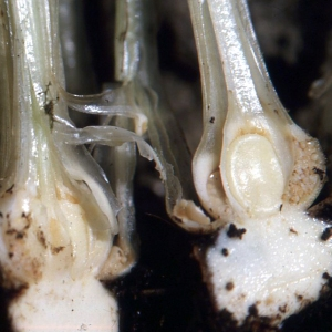Isoetes setacea Lam. (Isoète grêle)