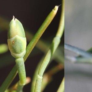 Photographie n°63657 du taxon Ephedra major subsp. villarsii (Godr. & Gren.) P.Fourn.