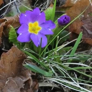 Primula vulgaris subsp. rubra (Sm.) Arcang. (Primevère rouge)