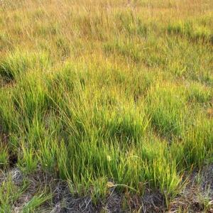Photographie n°63670 du taxon Molinia caerulea (L.) Moench