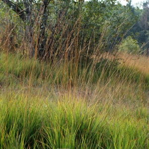 Photographie n°63672 du taxon Molinia caerulea (L.) Moench