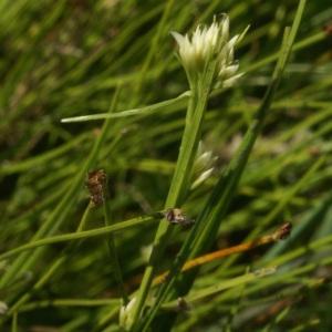 Photographie n°63681 du taxon Rhynchospora alba (L.) Vahl