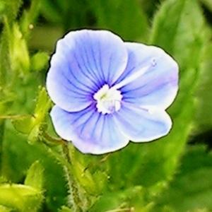 Photographie n°63692 du taxon Veronica chamaedrys L. [1753]