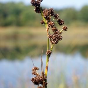 Photographie n°63715 du taxon Cladium mariscus (L.) Pohl