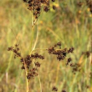 Photographie n°63717 du taxon Cladium mariscus (L.) Pohl
