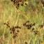 Liliane Roubaudi - Cladium mariscus (L.) Pohl