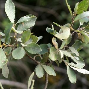 Photographie n°63725 du taxon Salix cinerea L. [1753]