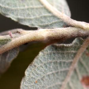 Photographie n°63726 du taxon Salix cinerea L. [1753]