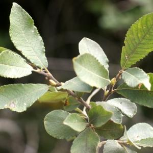 Photographie n°63727 du taxon Salix cinerea L. [1753]