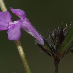 Photographie n°63734 du taxon Galeopsis intermedia Vill. [1779]