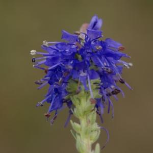 Photographie n°63745 du taxon Veronica spicata L.