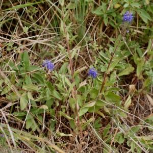 Photographie n°63746 du taxon Veronica spicata L.