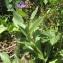 David ADAM - Centaurea montana L. [1753]