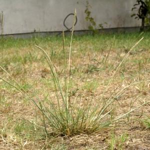 Photographie n°63799 du taxon Sporobolus indicus (L.) R.Br.
