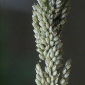 Photographie n°63802 du taxon Sporobolus indicus (L.) R.Br.