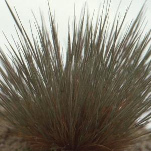 Photographie n°63816 du taxon Corynephorus canescens (L.) P.Beauv.