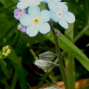 Photographie n°63817 du taxon Myosotis pyrenaica Pourr.