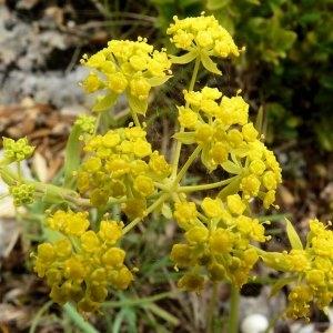 Bupleurum ranunculoides subsp. telonense (Gren. ex Timb.-Lagr.) H.J.Coste (Buplèvre de Toulon)