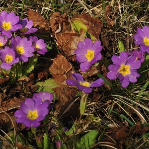 - Primula vulgaris subsp. rubra (Sm.) Arcang. [1882]