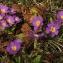 Gérard CalbÉrac - Primula vulgaris subsp. rubra (Sm.) Arcang. [1882]