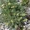 Jean-Luc Gorremans - Oxytropis campestris subsp. campestris