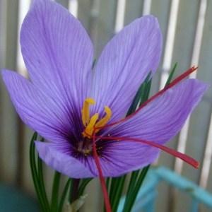- Crocus sativus L.