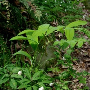 Photographie n°64473 du taxon Polygonatum multiflorum (L.) All. [1785]