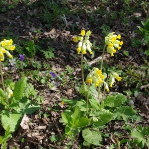 - Primula veris subsp. veris