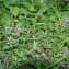 Jean-Luc Gorremans - Prunella vulgaris L.