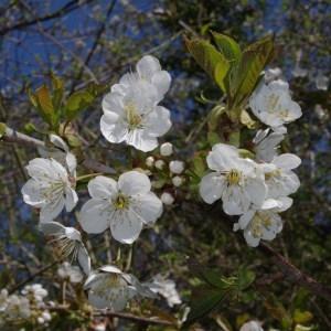 Photographie n°64490 du taxon Prunus avium (L.) L. [1755]